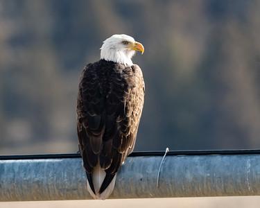 eagle126