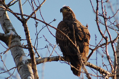Bald Eagle (juvenile) - Hackensack