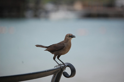 Local Bird of St  Lucia  CT