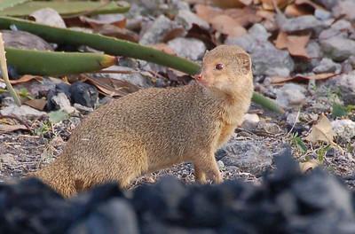 Wild Ferret - Antigua