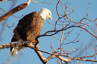 Bald Eagle - Hackensack