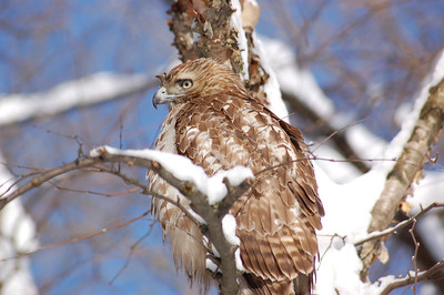 Red Tailed Hawk - Hackensack
