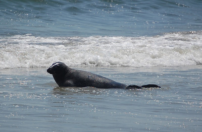 Grey Seal - Long Beach Island
