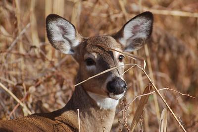 Bambi - Hackensack