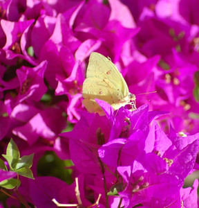 Butterfly - Antigua