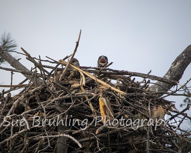 Hayden and Lexi's Eaglets - May 3, 2021