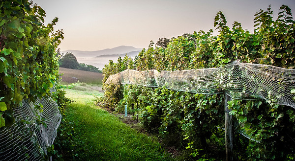 Early morning harvesting at Veritas Vineyards in Virginia.