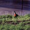 pheasant 1/27/70