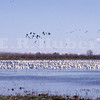 swan and geese 1/27/70