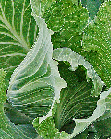 cabbage ...