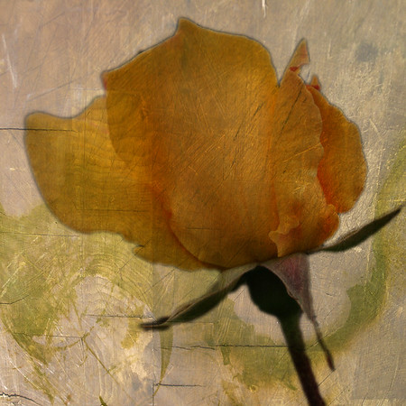 rough rose ...