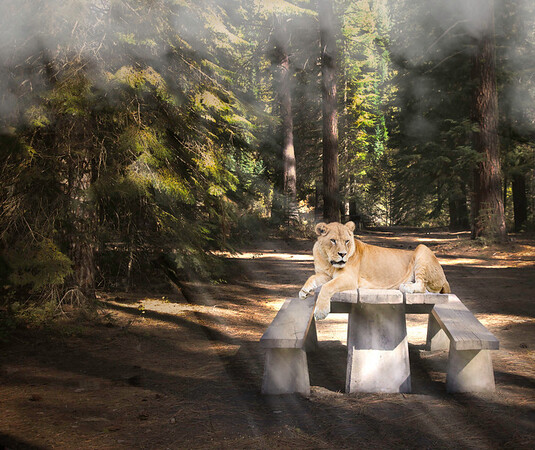 languishing lioness ...