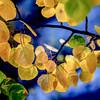 autumn aspens ...