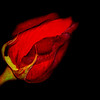 rose of darkness ...
