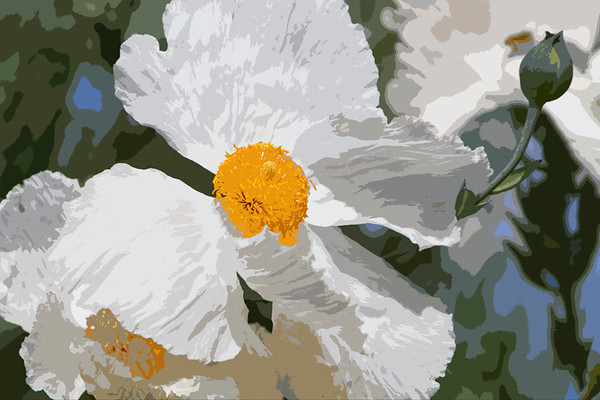 another of a matilija poppy, this one is in paint ... carmel mission at carmel by the sea, california