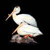 pelican presence ...