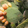 prickly pear ...
