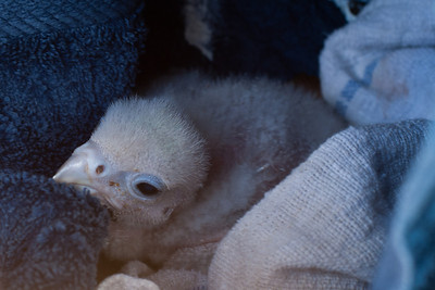 May 12, 2011: Baby Lanner Falcon, only twelve days old.