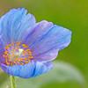BLUE POPPY   Longwood Gardens  3/16/16