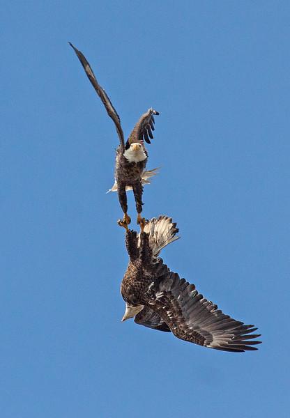 Rarely scene Bald Eagle courtship display.  Birds lock talons, twirl, and fall toward earth.