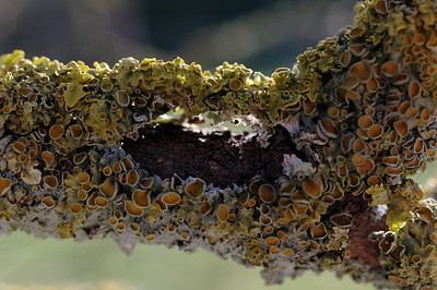 Potpourri of lichen on a lilac twig