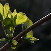 First spring leaves on an elderberry twig I