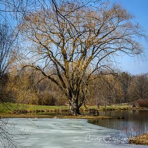 Golden Willow tree in Lotus Pond