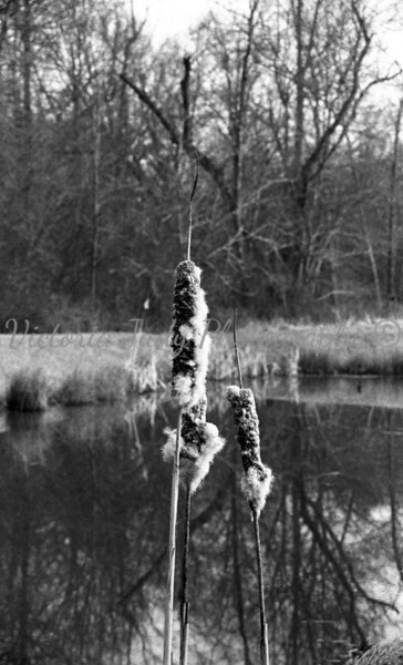 Pussy Willow at Bunker Hill Pond - 2004