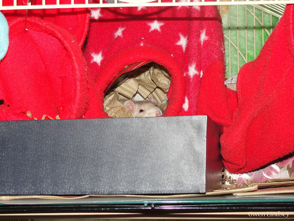 "If your rats have an Octo-Ferret Head in their cage, consider getting a 2nd one, let the rats snuggle in it inside the cage for a few days, then take it out and use it for ""lap work"". Put the rats in it, settle down on your couch or wherever, twist the ""legs"" to block them (or use binder clips), slide your hand inside with them, and become a Rat with them. They love to snuggle in a warm cave and will be delighted to have you visit in such an intimate fashion."