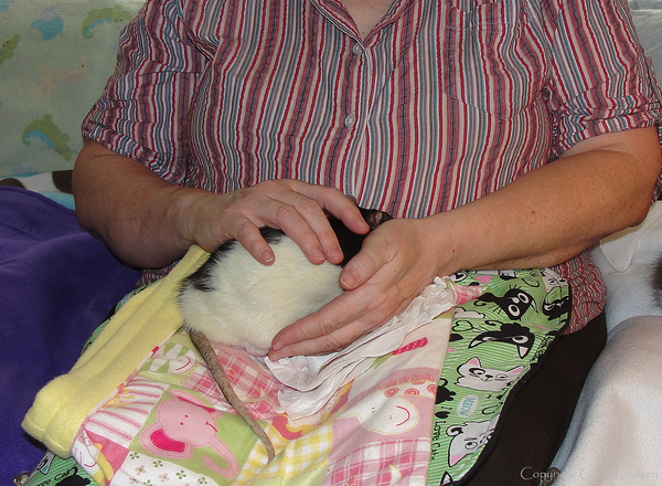 Jerry Rat demonstrates types of brief snug holds. He was a bit wiggly in my lap. I helped him find the spot he felt most comfortable in, but the process of getting there involved my offering some quick snug holds, as the photos show. If Jer-Jer liked my hold, he sat still and sometimes even sighed with relaxation. If he didn't like my position and his position, he would re-start a wiggle, at which point I changed my touch also. The goal is to help him find his comfortable place with me.