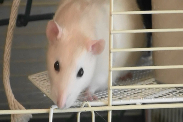 """This first video above is of Melody, helping her to calm down as she's anxious about the camera. Then, see below for the next video, another rat who is very different from Melody. Chancy (""""Chance-ee"""") is a natural snuggle rat and is rarely nervous. She can be seen in this youtube video below.    Hopefully this will show you where Melody is headed with her socialization."""