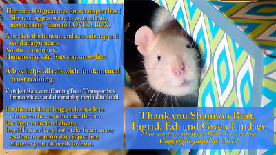 Ingrid rat, a new mom, a new rescue, who bites and draws blood, is helped to love a transport box for the first time. This will help her owner, Shannon, be able to work with her with no stress on either her or Ingrid.