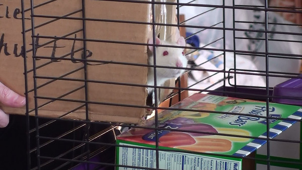 Pet Rat hesitating to exit the rattie shuttle. Frightened rats are very careful about venturing out into an unfamiliar cage while the human holds the box perfectly still for as long as it takes the rat to step out.