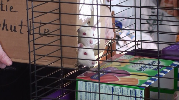 Two Pet Rats hesitating to exit the rattie shuttle. Frightened rats are very careful about venturing out into an unfamiliar cage while the human holds the box perfectly still for as long as it takes the rat to step out. Note the hand blocking the opening of the cage door on the side of the box.