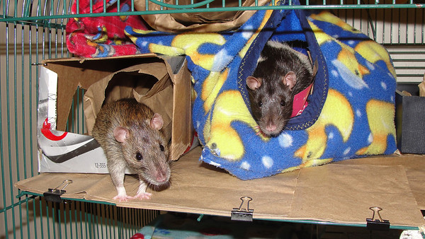 In this photo the yellow ducky on blue hammock/pouch is being used inside the cage, but I have another one I use just for lap bonding, hanging out.