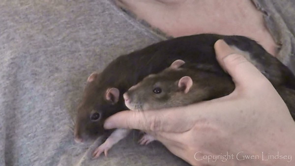 Bonny and Chancy, best buds, droop limply in my hands. They love hanging out there getting scritched and massaged. They have had lots of practice in my hands.