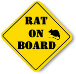 This means, really, get your rat - baby or adult - inside your shirt. 30 minutes a day is best.