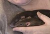 "Best Buds Bonny and Chancy (""Chance-ee"") snuggle in my hand. Chancy dozes."