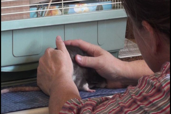 """Scritch your rat while she's in the snug-cave. She focuses on the grooming her human gives her, and calms down, even relaxing. She might even brux or boggle happily. This is one component of the method of """"Forced Socialization,"""" but the method here does not involve force as I think of that term, and I suspect """"Forced Socialization"""" when practiced correctly doesn't overstep the line either."""