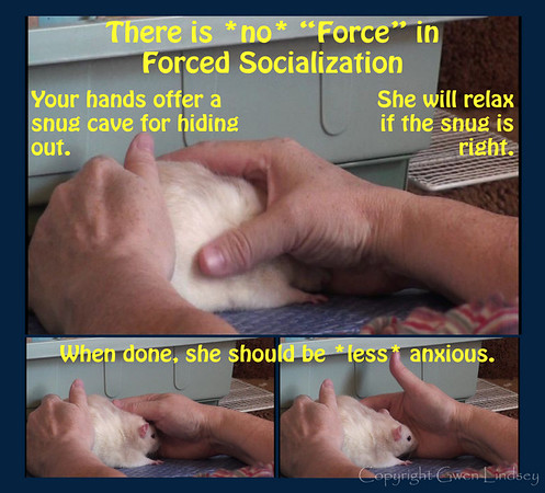 "Scritch your rat while she's in the snug-cave. She focuses on the grooming her human gives her, and calms down, even relaxing. She might even brux or boggle happily. This is one component of the method of ""Forced Socialization,"" but the method here does not involve force as I think of that term, and I suspect ""Forced Socialization"" when practiced correctly doesn't overstep the line either."