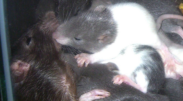 "As a teaser to the subject of encouraging our rats <br /> to practice human rodentistry, this beautiful scene <br /> shows the importance rats place on visiting each other's mouths,<br /> both to check for extra available food and to establish <br /> themselves in the mischief hierarchy. Mommy rat Murphy<br /> is getting a good teeth-cleaning by her baby girl,<br /> Cavatappi. Murphy can be seen hugging Ditalini, and <br /> another rat, Spatzel, is on top of Ditalini. These <br /> sweeties are rescue rats in residence at RAT DEPOT RAT<br /> RESCUE PITTSBURGH. Murphy was a rescued feeder rat <br /> that had a litter. Permission and photo by Kristen Schliecker, <br /> president of RAT DEPOT RAT RESCUE PITTSBURG.<br /> You can reach her for information, available adoptions <br /> or to donate to the rescue, at livinginthelight@juno.com. <br /> Also visit Kristen at <a href=""http://www.zazzle.com/AWWWWRATS"">http://www.zazzle.com/AWWWWRATS</a>."