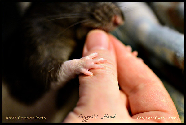 Tugger holds his human while he noms a chick pea.