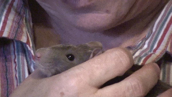 """A shy frightened rat is even more frightened by an accidental loud bang, and then handed to a stranger for comforting. This video explores using a """"grip cave,"""" or """"snug hold"""" to help Precious feel safe."""