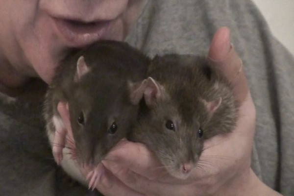 Calm rats droop in their human's hands.