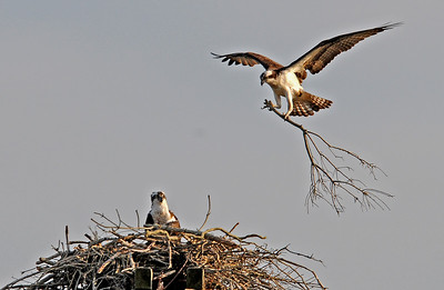 Osprey Pair, Martha's Vineyard