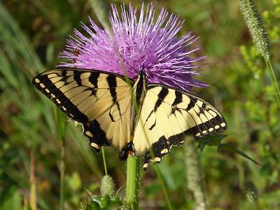 Swallowtail Butterfly, South Royalton, Vermont