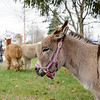 4/23/16 TOWNSEND-- Mapledell Farm's donkey hanging around with a couple of alpaca's on Saturday during Towsends 2016 Earth Day Celebration held on the Townsend Common.  (Photo/Jeff Porter)