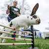 4/23/16 TOWNSEND -- Rhinelander rabbit Cheeky showing off his equestrian-like skills with guidance from Inese Benks of Spencer on Saturday during the annual Earth Day Celebration held on Townsend Common. (Photo/Jeff Porter)