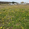 The fields of a local farm in Billerica appear to be carpeted with dandelions on Earth Day. Photo by Mary Leach
