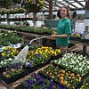 Stephanie Sullivan keeps the pansies watered at Griggs Farm in Billerica. -- photo by Mary Leach